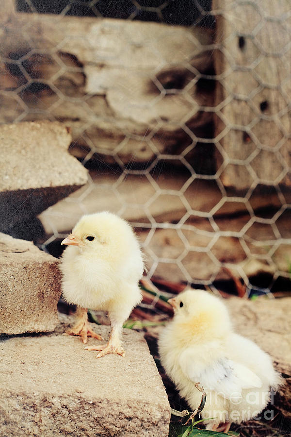 Chick Photograph - Little Explorers by Stephanie Frey