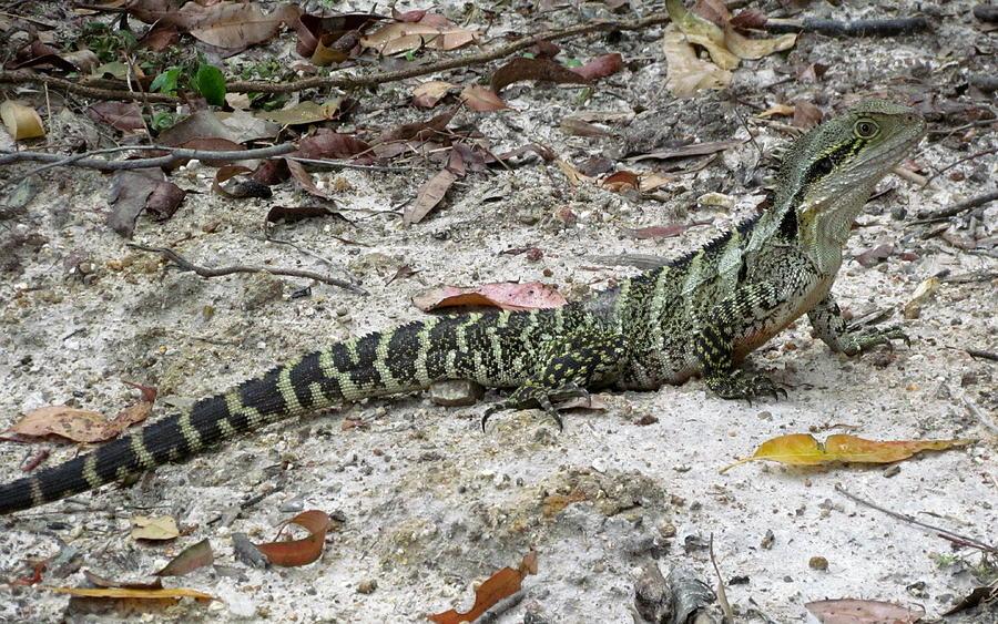 Lizard Photograph - Lizard by Joyce Woodhouse