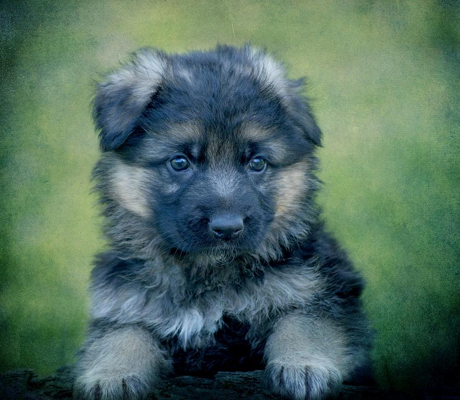 German Shepherd Puppy Photograph - Long Coated Puppy by Sandy Keeton