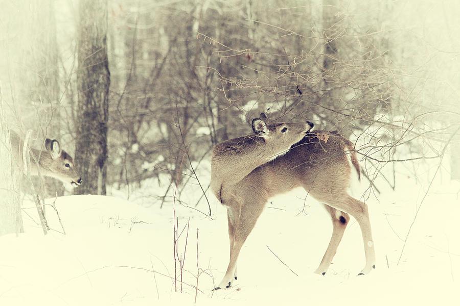 Deer Photograph - Looking Back by Karol Livote