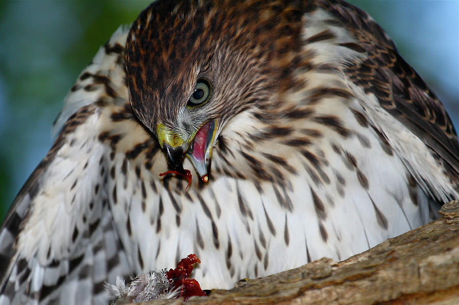 Coopers Hawk Photograph - Lunchtime by Paul Marto