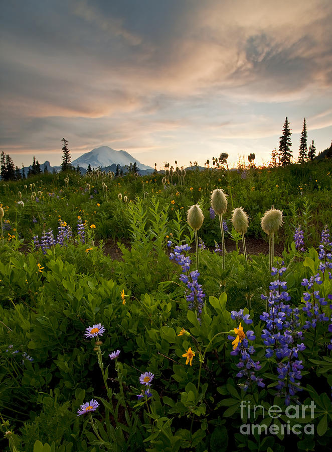 Aster Photograph - Lupine Sunset by Mike  Dawson