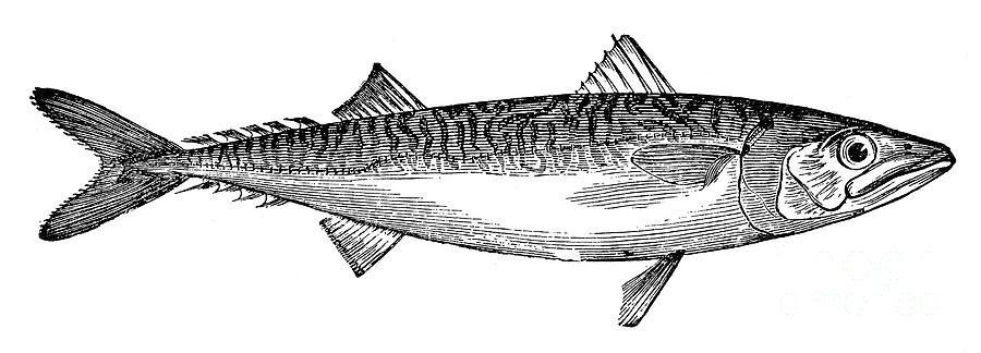 Aquatic Photograph - Mackerel by Granger