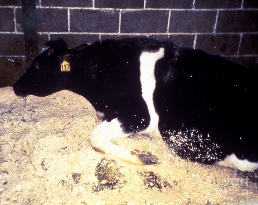 Mad Cow Disease Photograph - Mad Cow Disease by Science Source