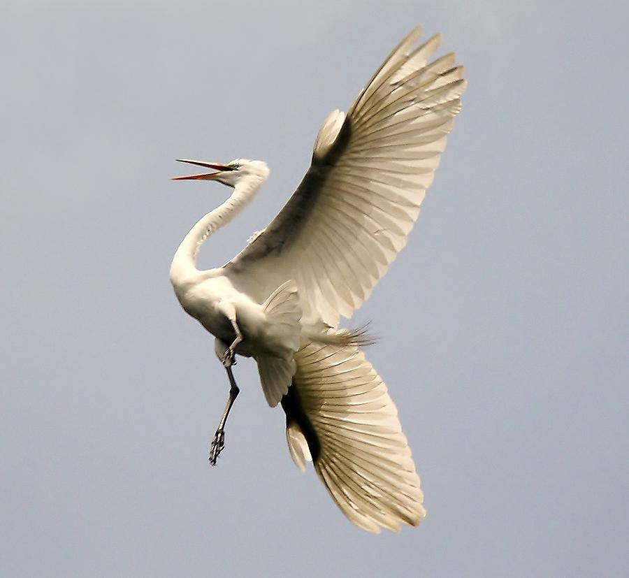 Great White Egret Photograph - Magestic by Paulette Thomas