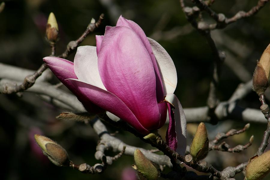 Magnolia Close Up Photograph - Magnolia World Of Beauty by Valia Bradshaw