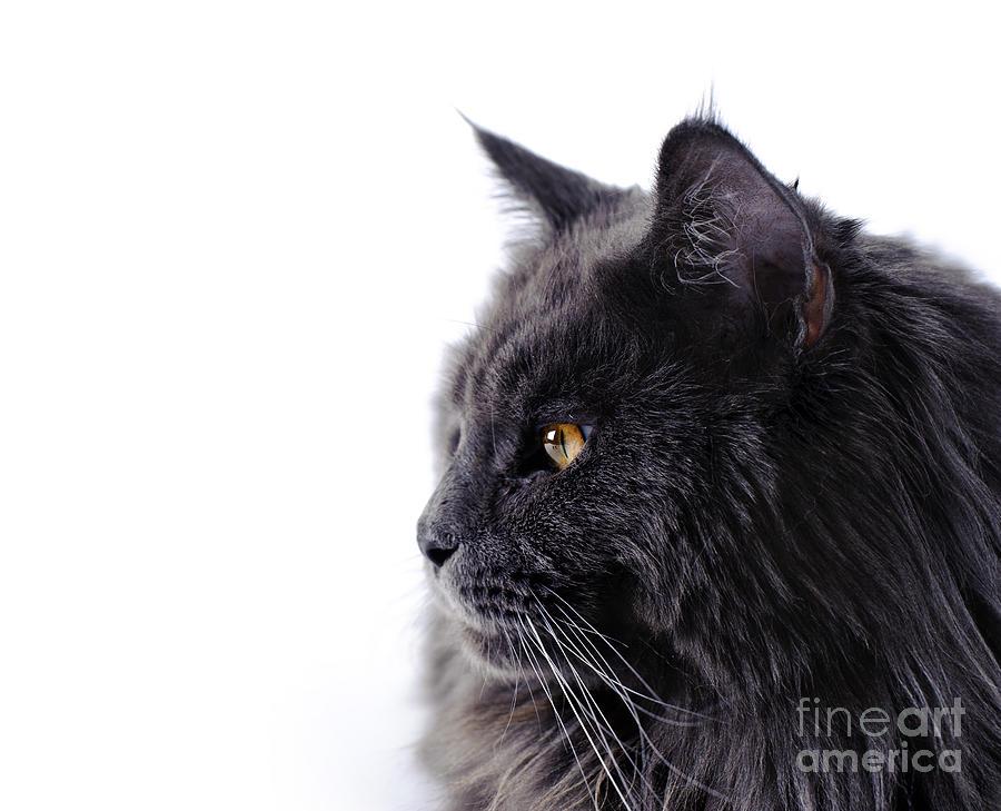 Cat Photograph - Maine Coon Cat by Waldek Dabrowski