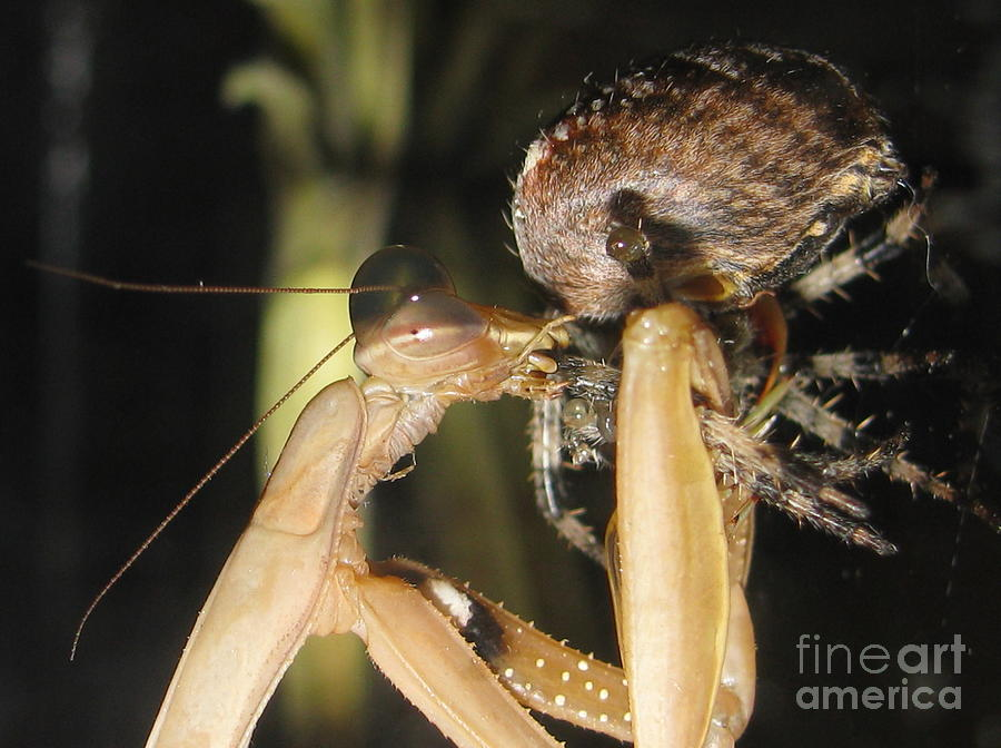 mantis vs spider by Tina Marie