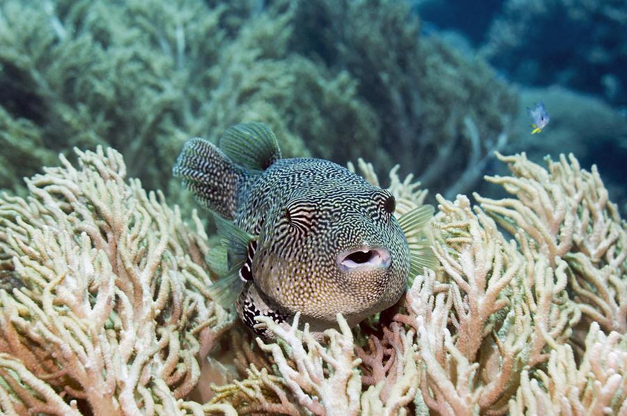 Map Puffer Photograph - Map Pufferfish by Georgette Douwma