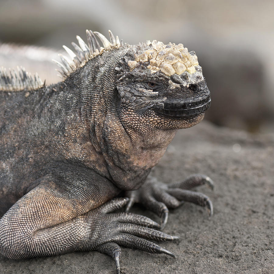 Animals In The Wild Photograph - Marine Iguana Amblyrhynchus Cristatus by Keith Levit