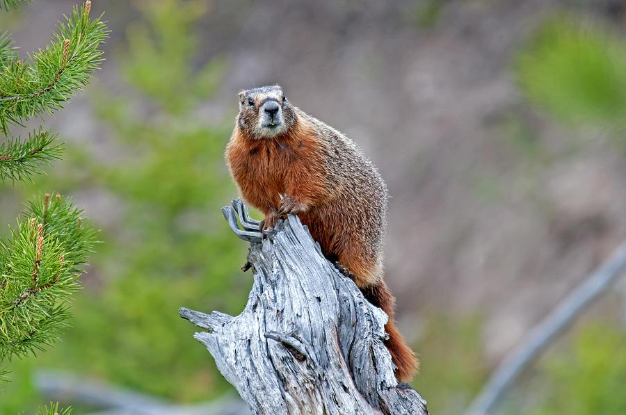 Yellowstone Photograph - Marmot by Elijah Weber