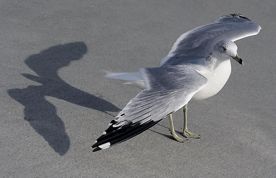 Sea Gull Photograph - Me And My Shadow by Paulette Thomas