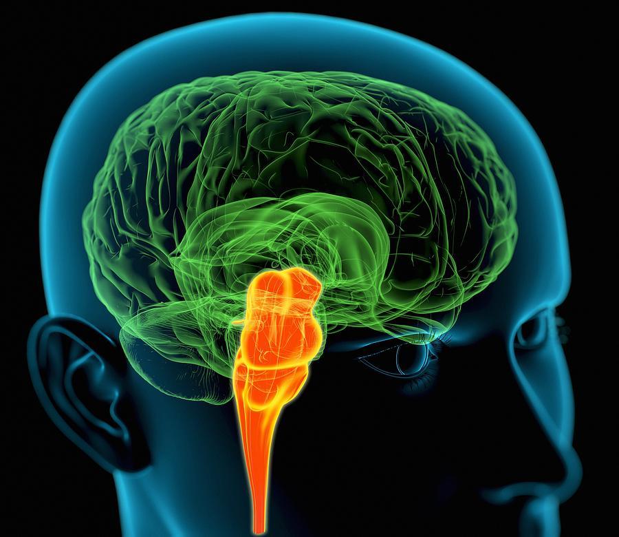 Medulla Oblongata In The Brain, Artwork Photograph by ...