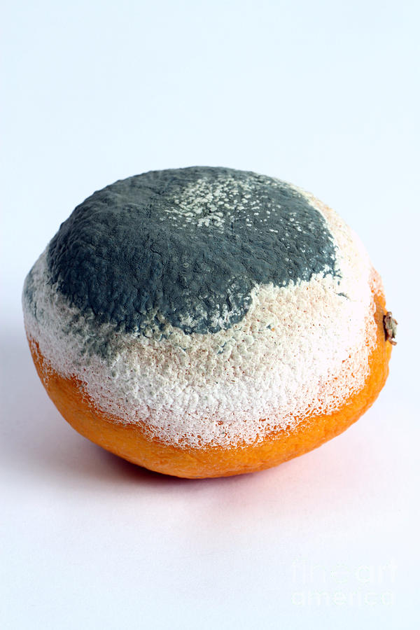Biology Photograph - Moldy Orange by Photo Researchers, Inc.
