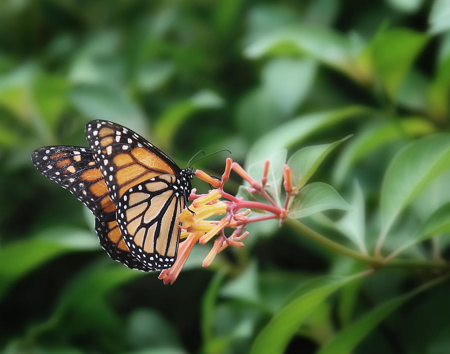 Monarch Butterfly Photograph - Monarch Butterfly by Joseph G Holland