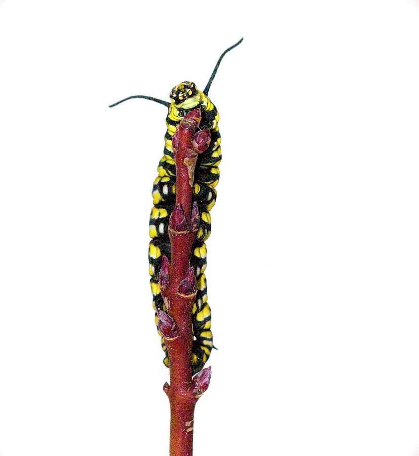 Vertical Photograph - Monarch Caterpillar by Jim McKinley