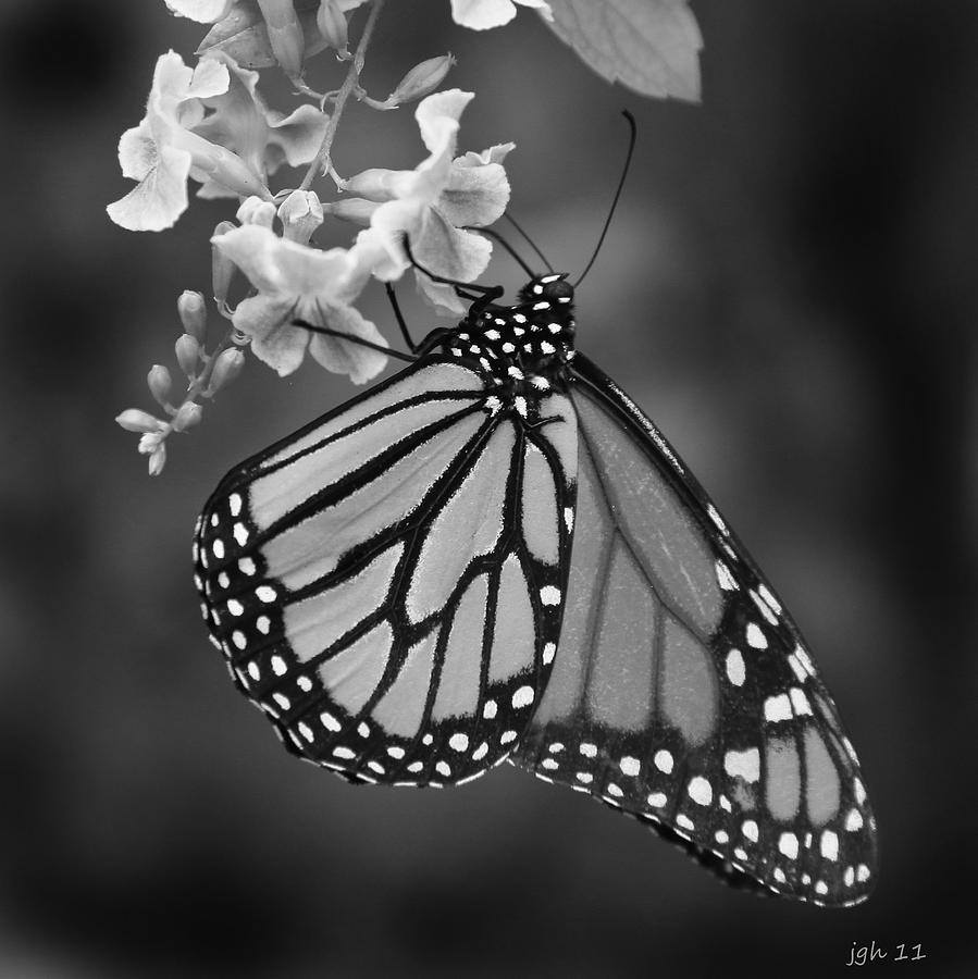 Butterfly Photograph - Monarch  by Joseph G Holland
