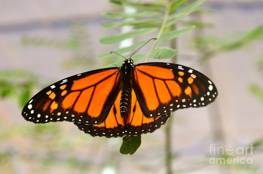 Feature Photograph - Monarch Majesty by Johanne Peale