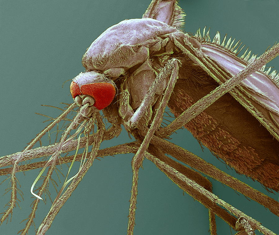 Mosquito Photograph - Mosquito, Sem by Steve Gschmeissner