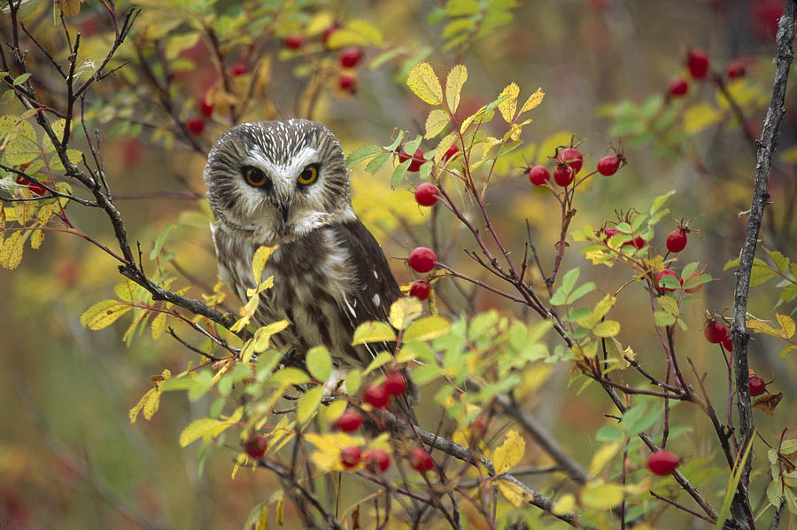 Northern Saw Whet Owl Perching Photograph by Tim Fitzharris