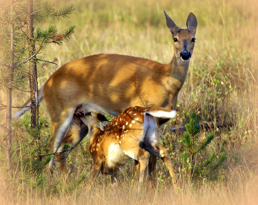 Deer Photograph - Nursing Fawn by Marty Koch
