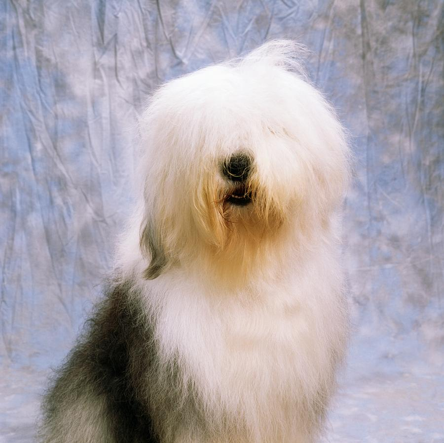 Breed Photograph - Old English Sheepdog by The Irish Image Collection