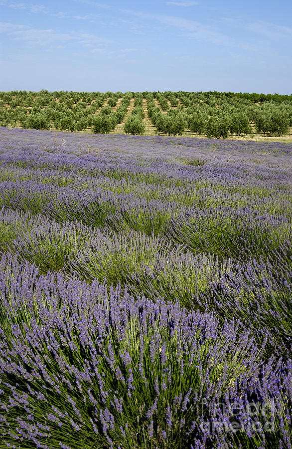 The Tourism Trade Photograph - Olive Trees. Provence by Bernard Jaubert