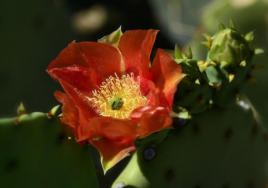 Prickly Pear Cactus Photograph - Orange Prickly Pear Blossom  by Saija  Lehtonen