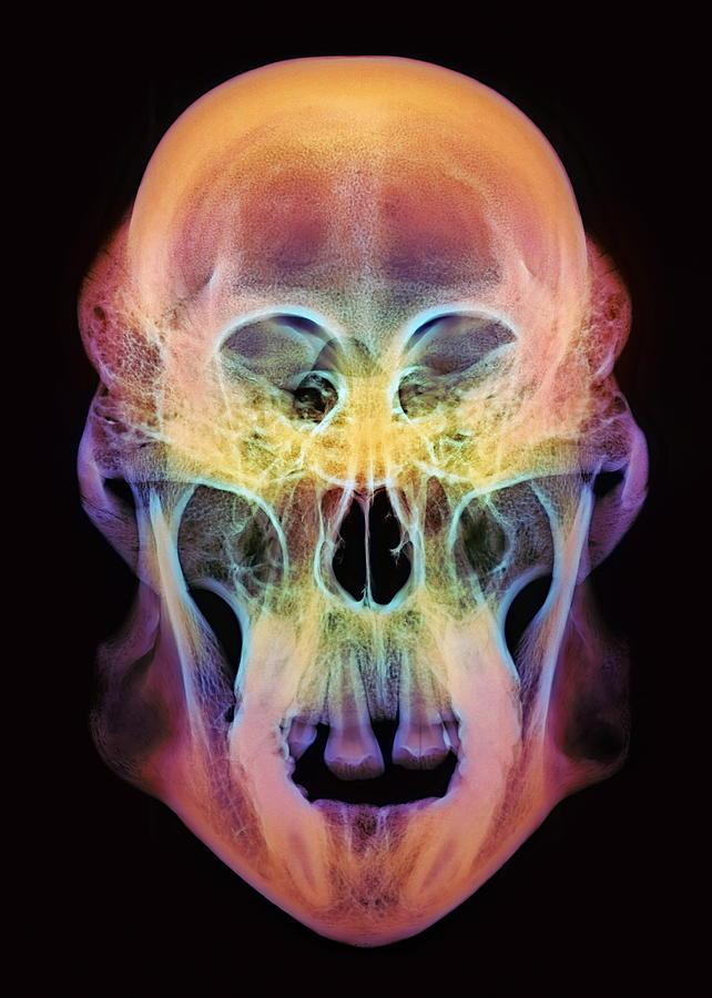 Orangutan Photograph - Orangutan Skull by D. Roberts