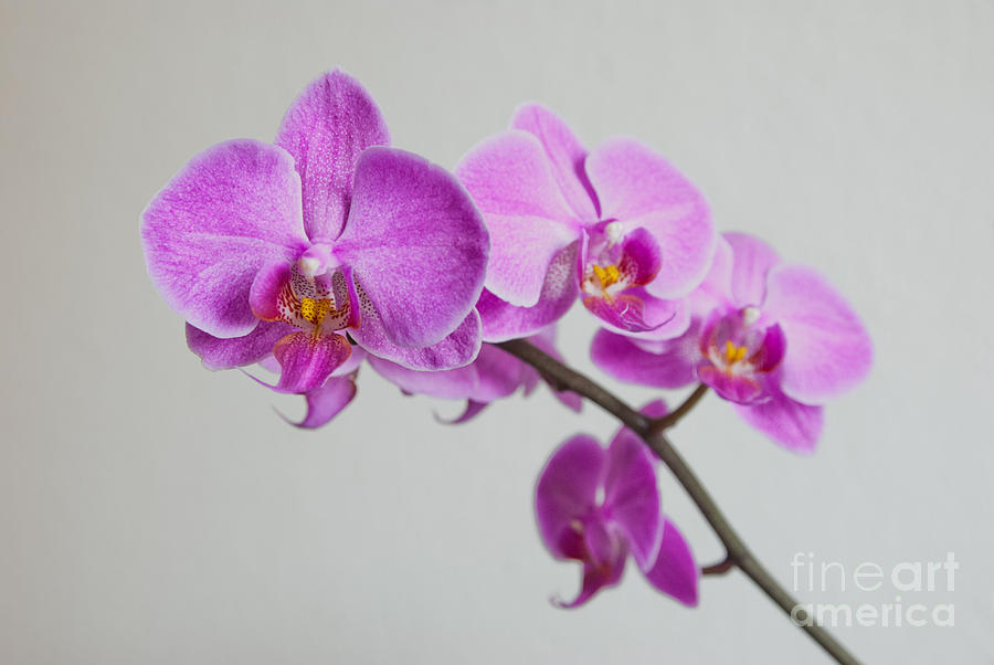 Asia Photograph - Orchid  by Hannes Cmarits