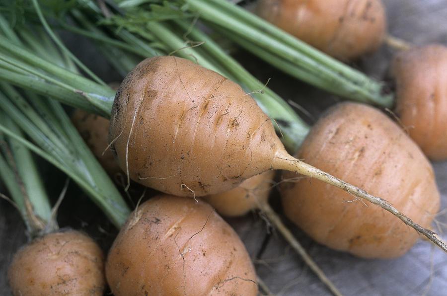 Daucus Carota Photograph - Organic Carrots (daucus Carota parmex) by Maxine Adcock