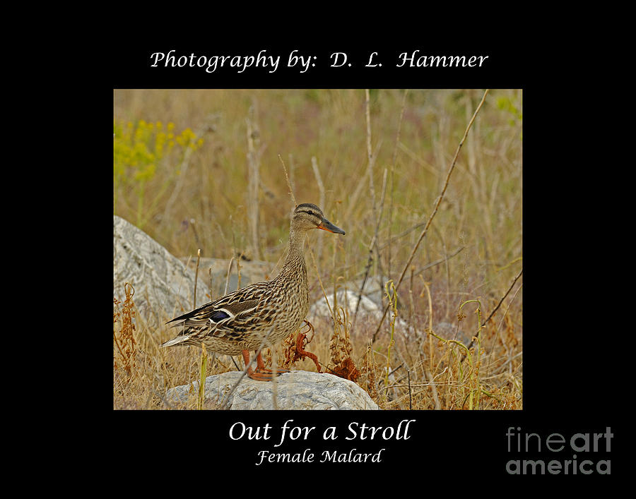 Wildlife Photograph - Out For A Stroll by Dennis Hammer