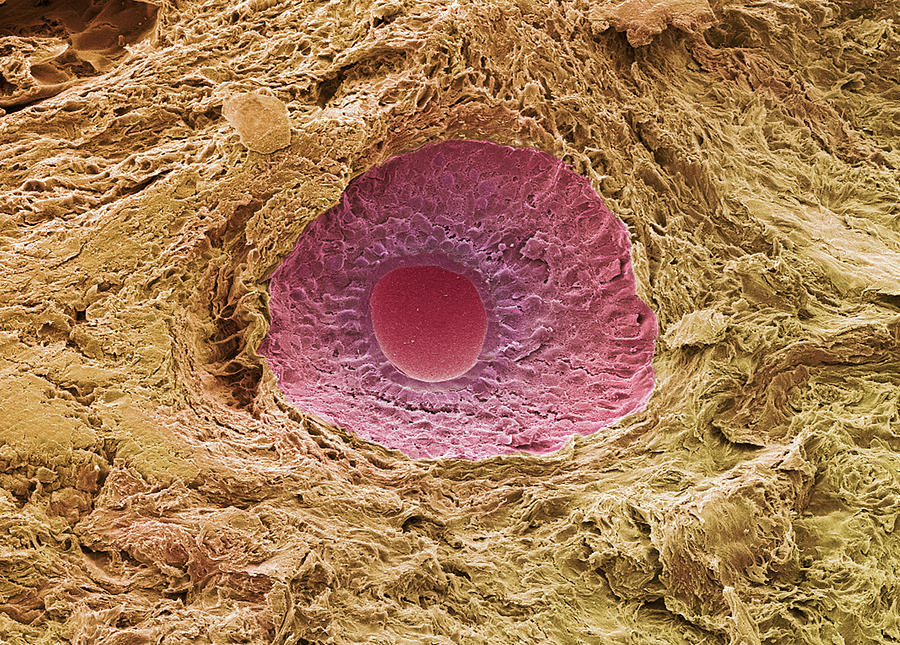 Secondary Follicle Photograph - Ovarian Follicle, Sem by Steve Gschmeissner