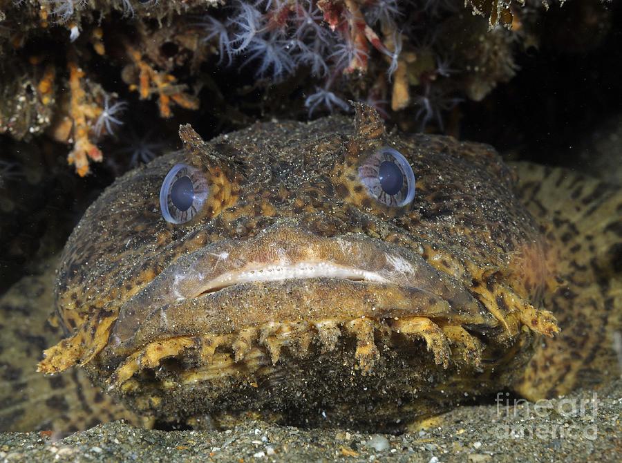 Oyster Toadfish Atlantic Ocean Photograph By Karen Doody
