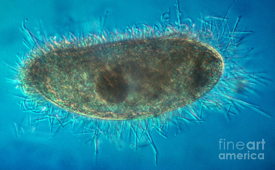Unicellular Photograph - Paramecium With Ejected Trichocysts by Eric V. Grave