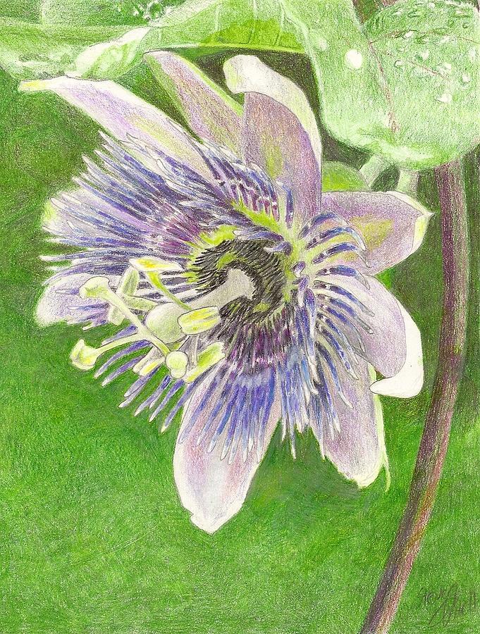 Passiflora Drawing - Passiflora Alatocaerulea by Steve Asbell