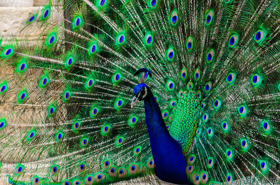 Animal Photograph - Peacock by Michael Goyberg