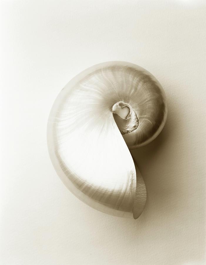 Vertical Photograph - Pearlised Nautilus Sea Shell, Close-up by Finn Fox