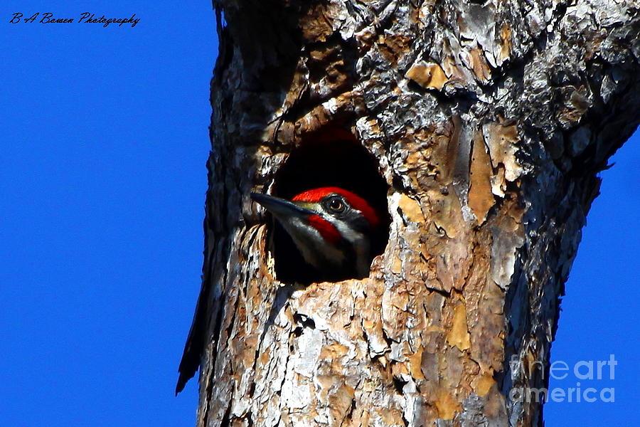 Pileated Woodpecker Photograph - Peeking Out by Barbara Bowen