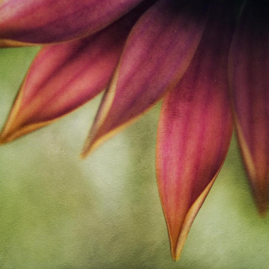 Daisy Photograph - Petals by Bonnie Bruno
