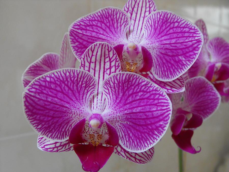 Phalaenopsis Orchid by Marlene Challis