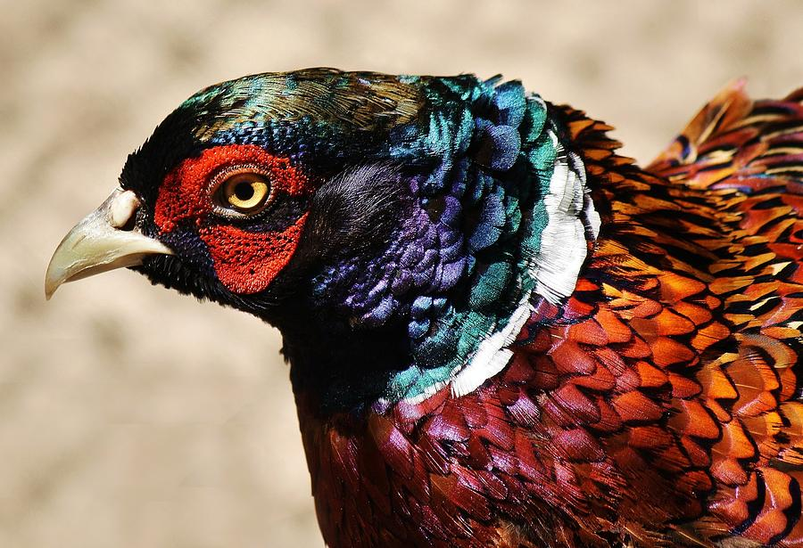 Pheasant Photograph - Pheasant by Paulette Thomas