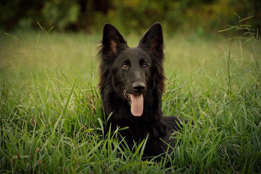 German Shepherd Photograph - Phoenix by Sandy Keeton