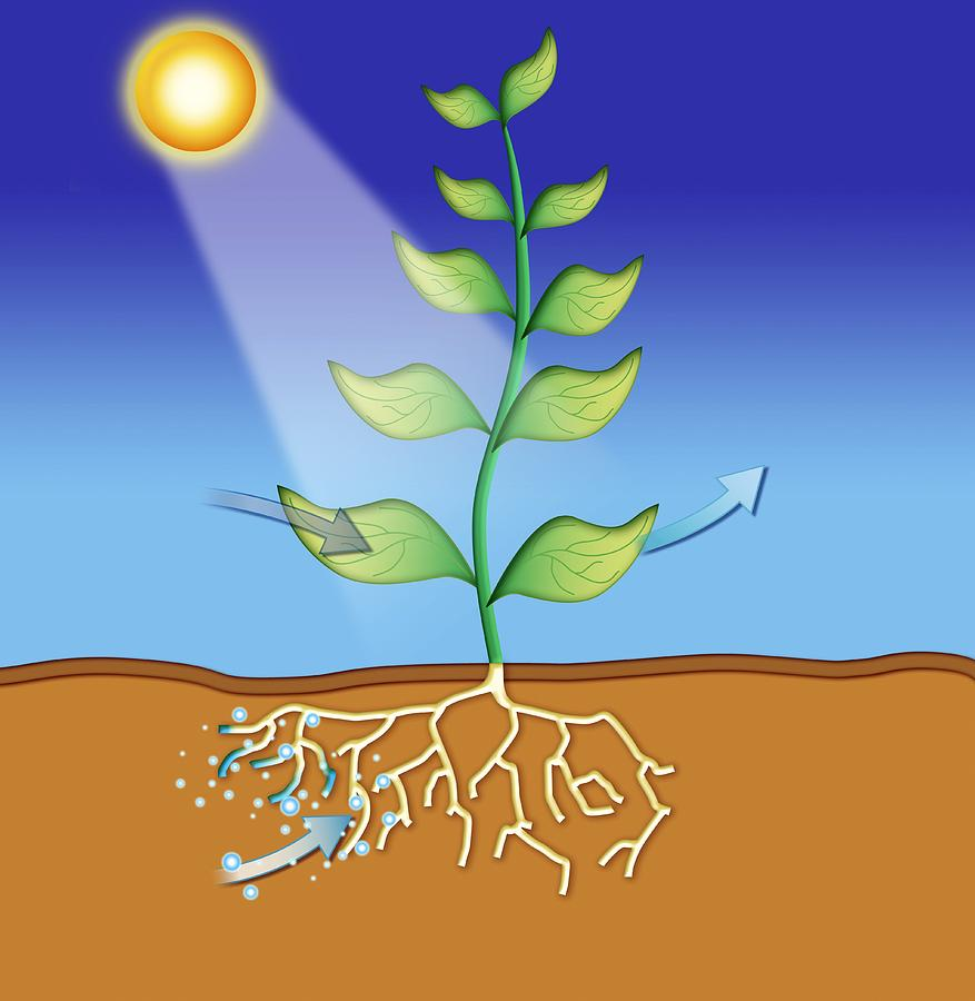 Plant Photograph - Photosynthesis, Artwork by David Nicholls