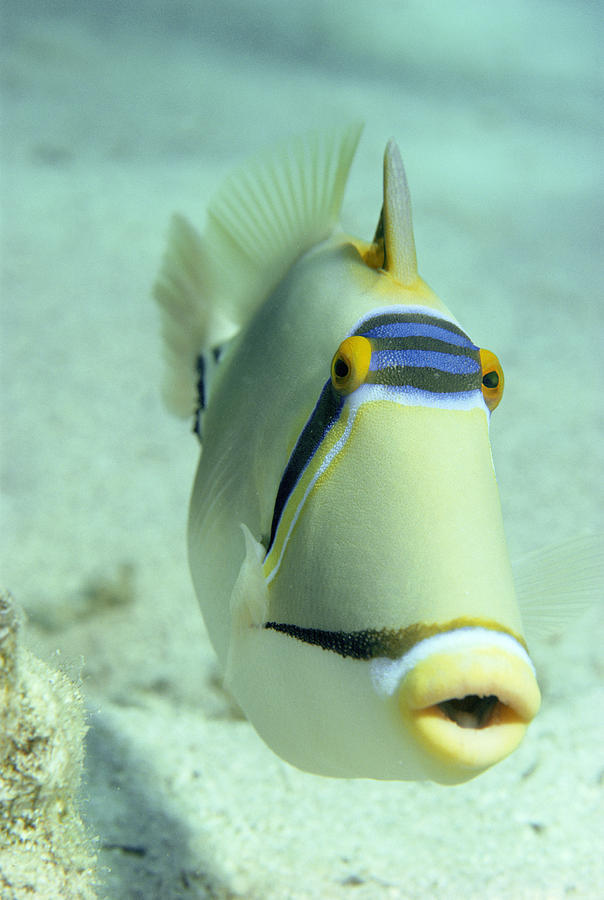 Picasso Triggerfish Photograph - Picasso Triggerfish by Georgette Douwma