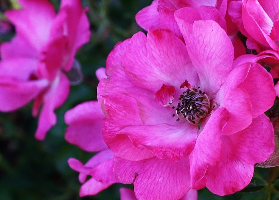 Flora Photograph - Pink Roses by Bruce Bley