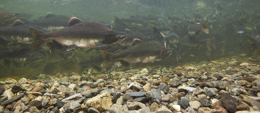 Pink Salmon Oncorhynchus Gorbuscha Photograph by Matthias Breiter