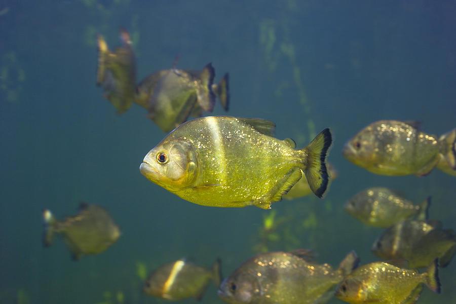 Piranha Photograph - Piranhas by Peter Scoones