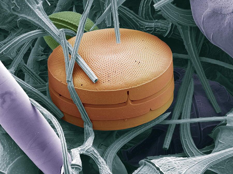 Coscinodiscus Photograph - Planktonic Diatom Alga, Sem by Steve Gschmeissner