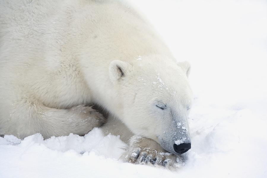 Animals In The Wild Photograph - Polar Bear Ursus Maritimus Has His Eyes by Richard Wear